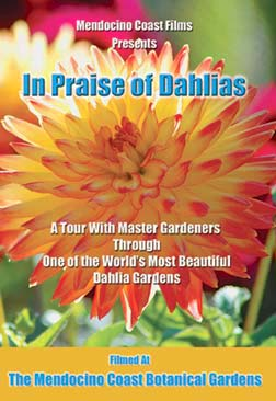 IN PRAISE OF DAHLIAS